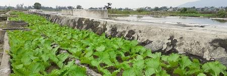 Cây cải cay – Sinh kế mới trên vùng đất muối mặn Hộ Độ