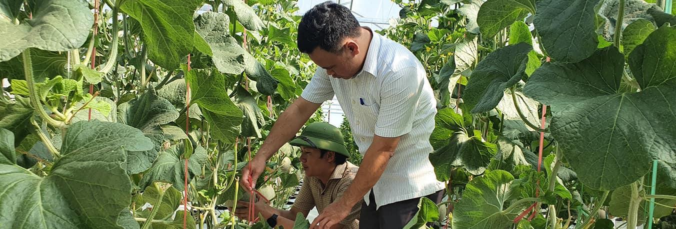 Thành công mô hình trồng dưa lưới trong nhà màng ở Lộc Hà