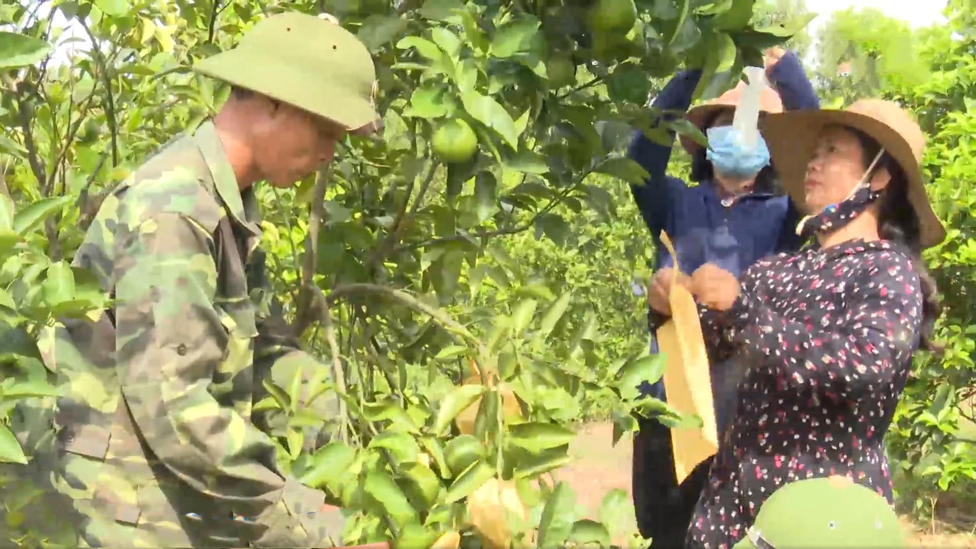 Tập trung chăm sóc cây cam thời kỳ nuôi quả non